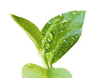 营养师学院:茶多酚对高尿酸症的作用
